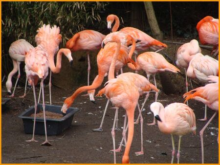 Flamants_roses_du_chili_2