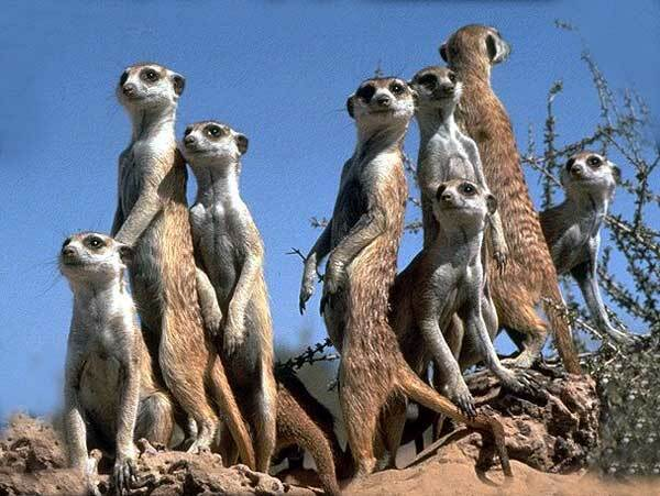 Suricates dans le Kalahari