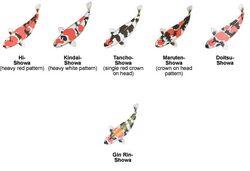 les variétés de carpe koï