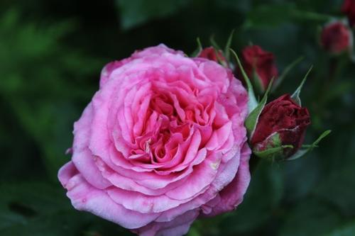 A mon amie la rose ...
