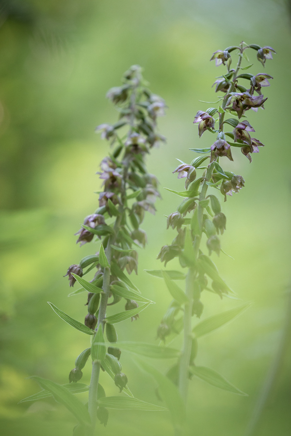 Epipactis rouge sombre