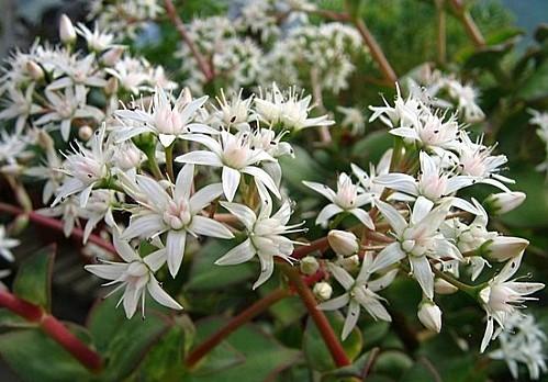 Crassula lactea fleurs blanches 27.01