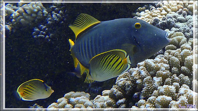 Monacanthe rayé, Arbalétrier gris, Barred filefish (Cantherhines dumerilii) et Papillon coucher de soleil, Sunset butterflyfish (Chaetodon pelewensis) - Passe Tumakohua - Atoll de Fakarava - Polyné