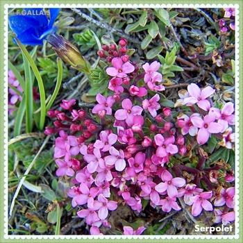 Serpolet-Thymus serpyllum