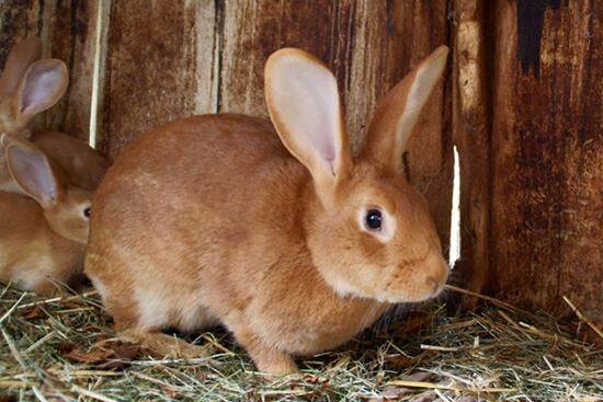 En Bretagne, un tueur en série de lapins activement recherché par les gendarmes