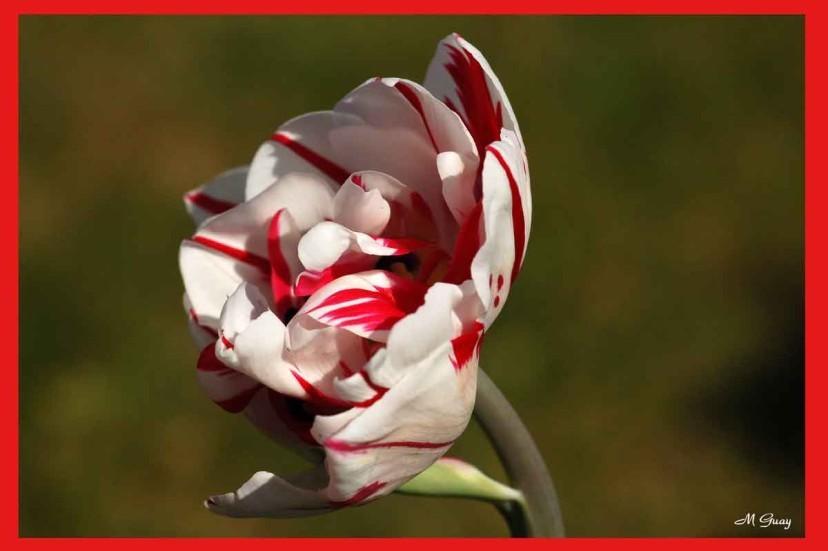 tulipe-1593.jpg