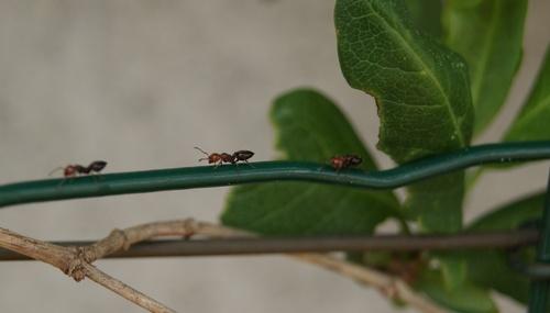 chenille arpenteuse brune et fourmis à tête rouge