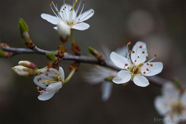 Fleurs de prunelliers