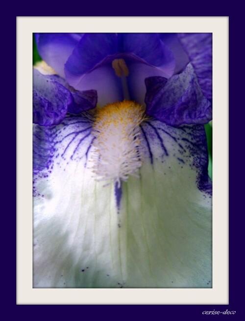 gify, gif, iris ,coucou,cerise,deco,eklablog,blumen,bloem,,flowers,