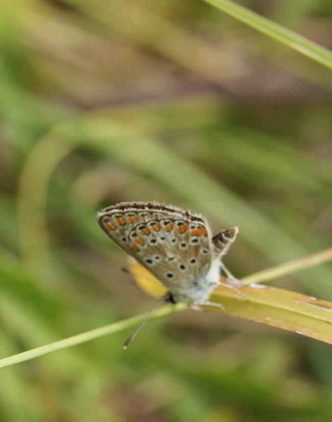 azuré de la bugrane ou argus bleu