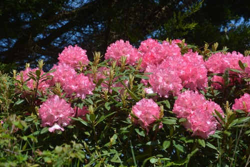Roscanvel Rhododendrons