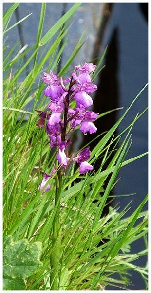 orchidee-sauvage.jpg