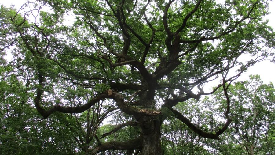 Chêne des Hindrés - Brocéliande