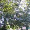Ficus de Noel 2 - Cascais