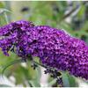 Buddleia (arbre à papillons)