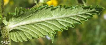 Rhinanthus angustifolius  -  rhinanthe à feuilles étroites