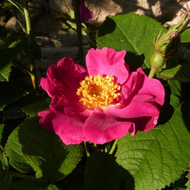 rosier la belle sultane - juin 2014 - fleur illuminée par