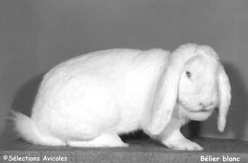 Belier-blanc-copie-1.jpg