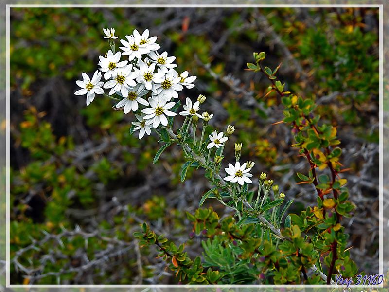 Mata Negra Fuegina, Fashine (Chiliotrichum diffusum) - Peninsula de Magallanes - Patagonie - Argentine