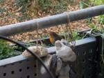 Rotkehlchen im Balkonkasten