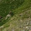 Isard (Rupicapra pyrenaica), à la charge, il passera à 10 mètres de moi
