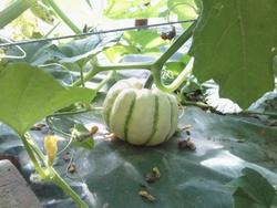 Août 2012 sweet-dumpling