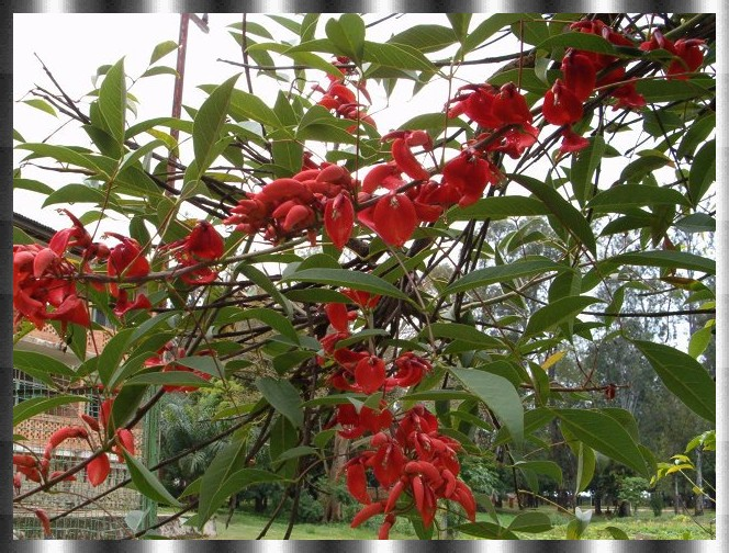 flore katangaise