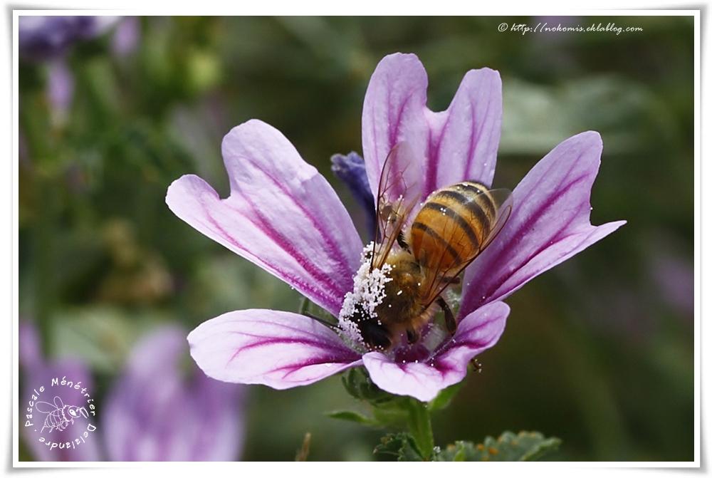 Apis mellifera femelle - Abeille mellifère