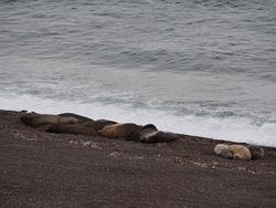 Elepahnts de mer