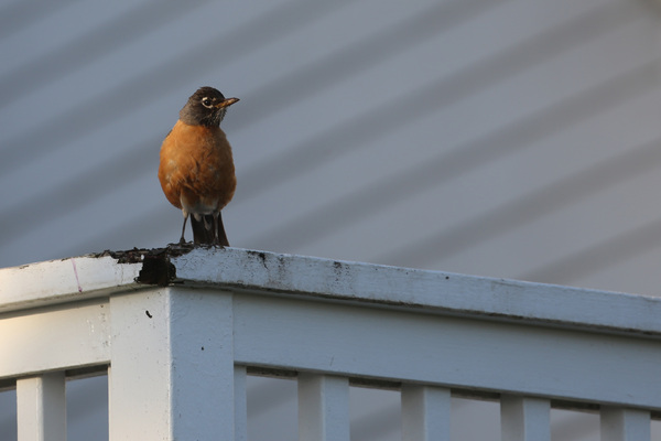 American Robin - Little River