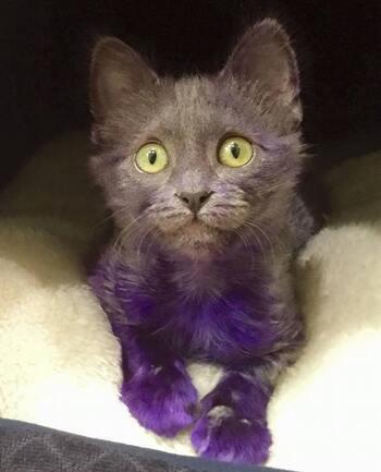 D'heureuses nouvelles du chaton teint en violet