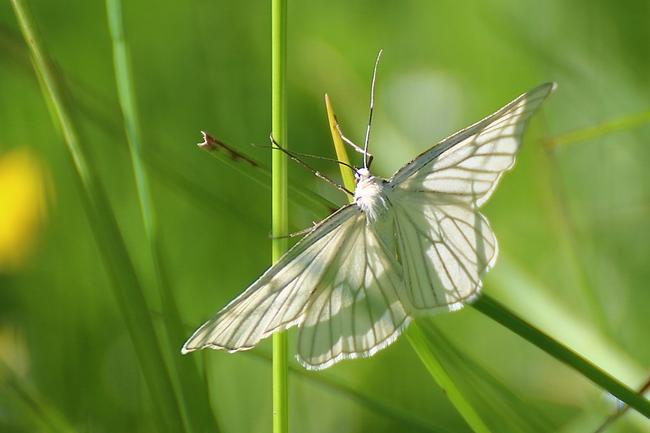 Phalène blanche