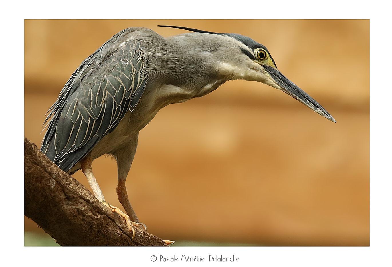 Héron strié - Butorides striata - Striated Heron
