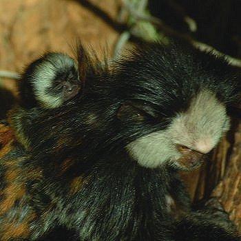 le petit ouistiti et sa maman, à la réserve africaine de sigean