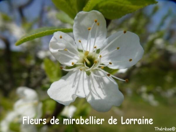 Mirabellier (2)