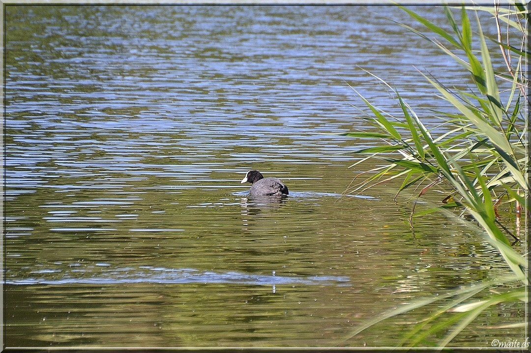 Poule d'eau sur l'Ostriconi - Corse 16-05-2014