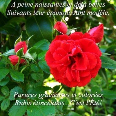 carte ete roses100 5252