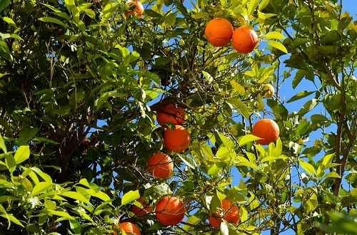 Naturally Healthy Fruit Trees