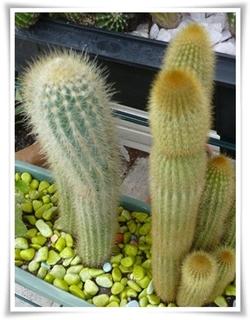 cactus ...