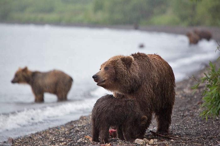 Ours russes: photos d'animaux féroces du Kamtchatka