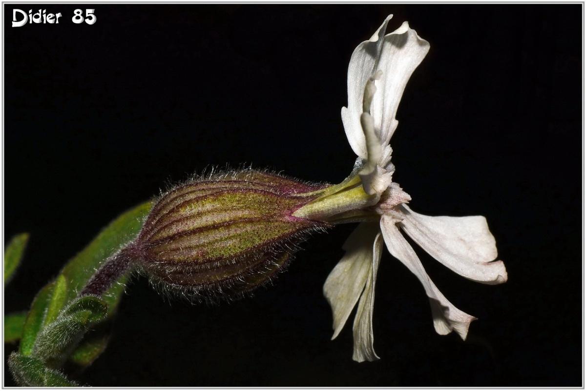 Compagnon Blanc (1) - Silene latifolia
