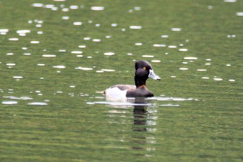Fuligule à Bec Cerclé (Ring-necked Duck)