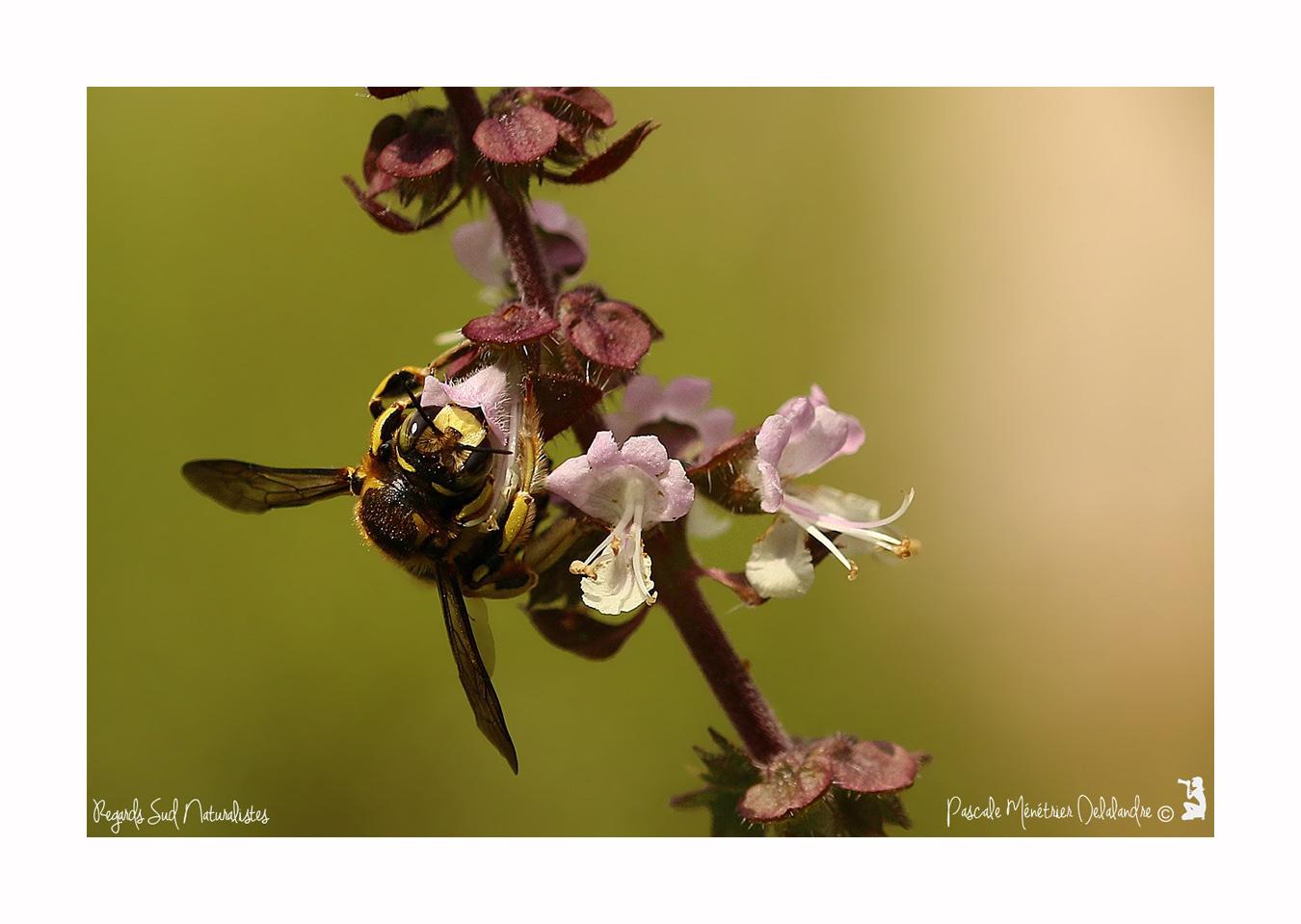 Anthidium ♂ (Megachilidae)