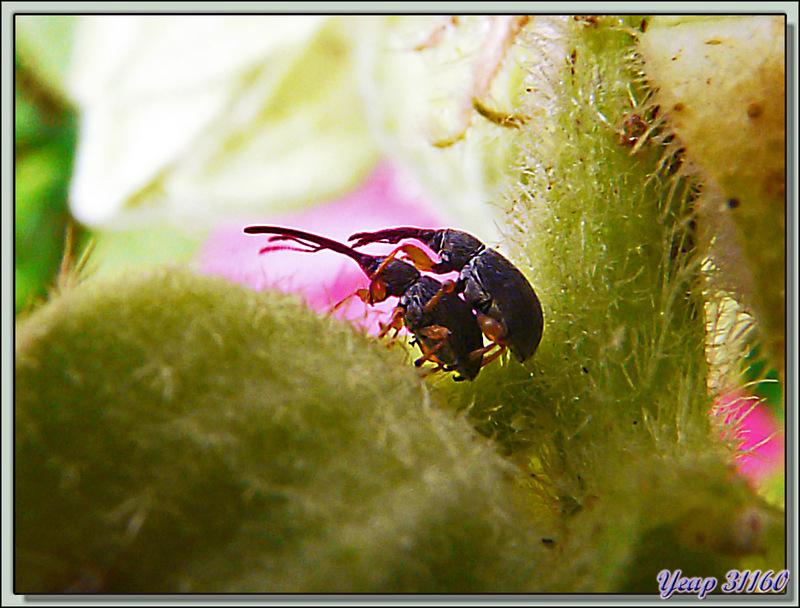 Apion des roses trémières (Rhopalapion longirostre) - La Couarde-sur-Mer - Ile de Ré - 17