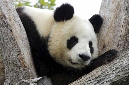 « Pandas »