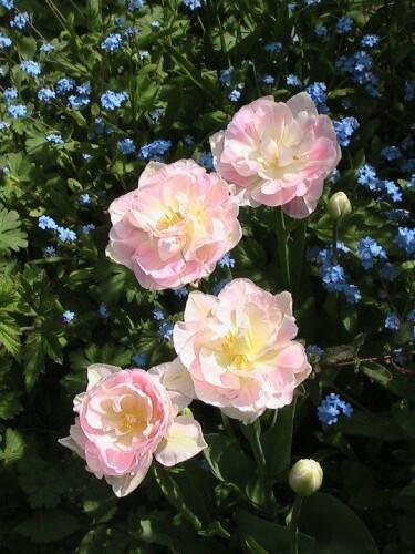 Tulipes Angélique