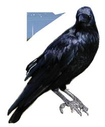 Oiseaux,corbeau
