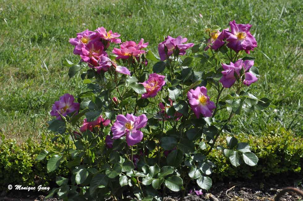 Des roses pour ce dimanche