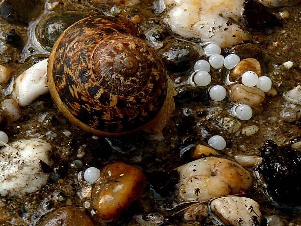 Escargot oeufs1