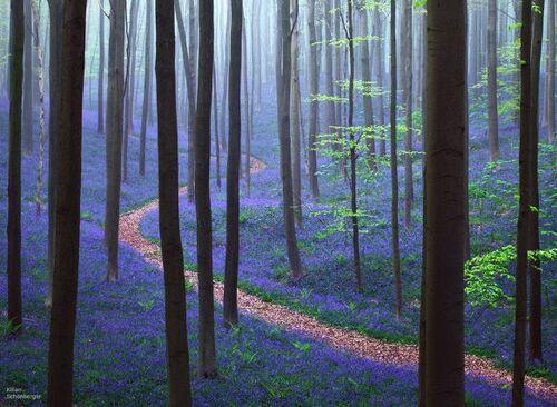 Une forêt de la jacinthes
